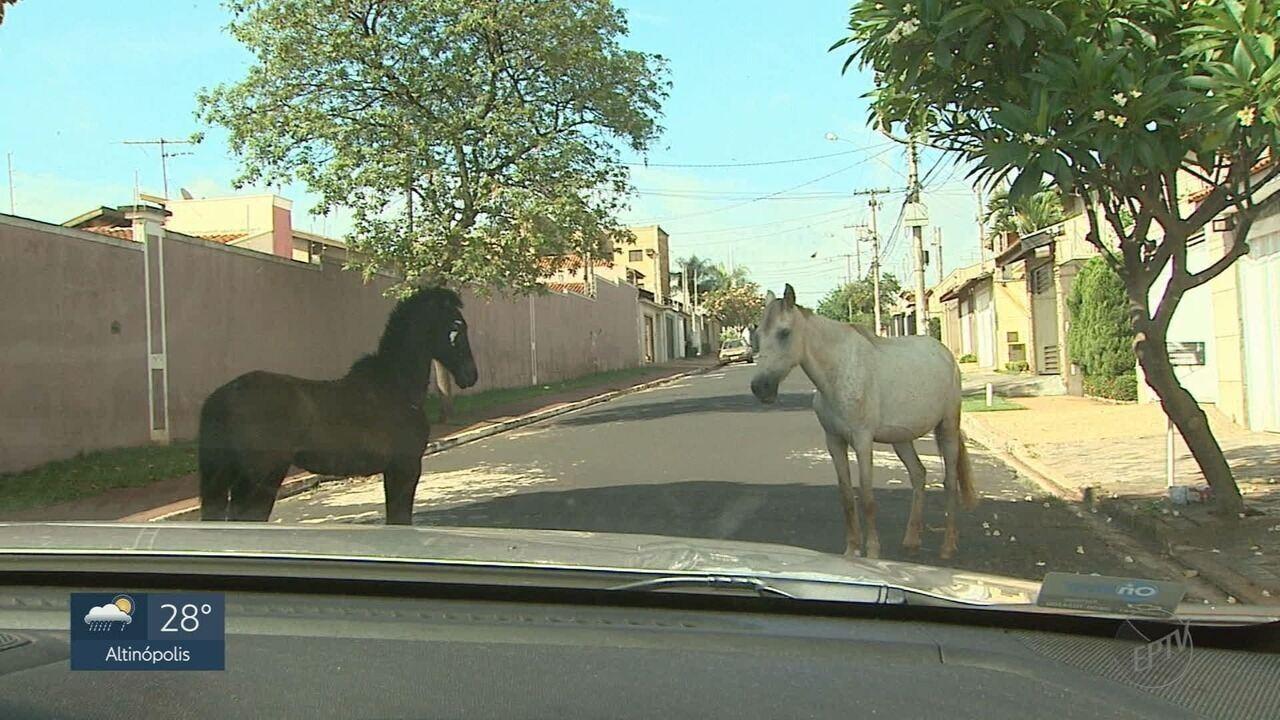 Cavalos soltos nas ruas colocam motoristas em risco no Jardim Palmares em Ribeirão Preto