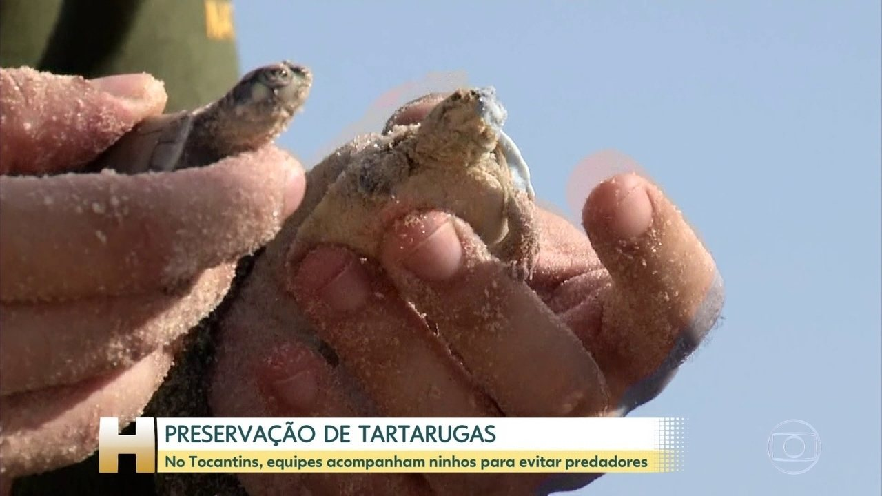 Projeto garante repovoamento de tartaruga-da-amazônia, no Tocantins