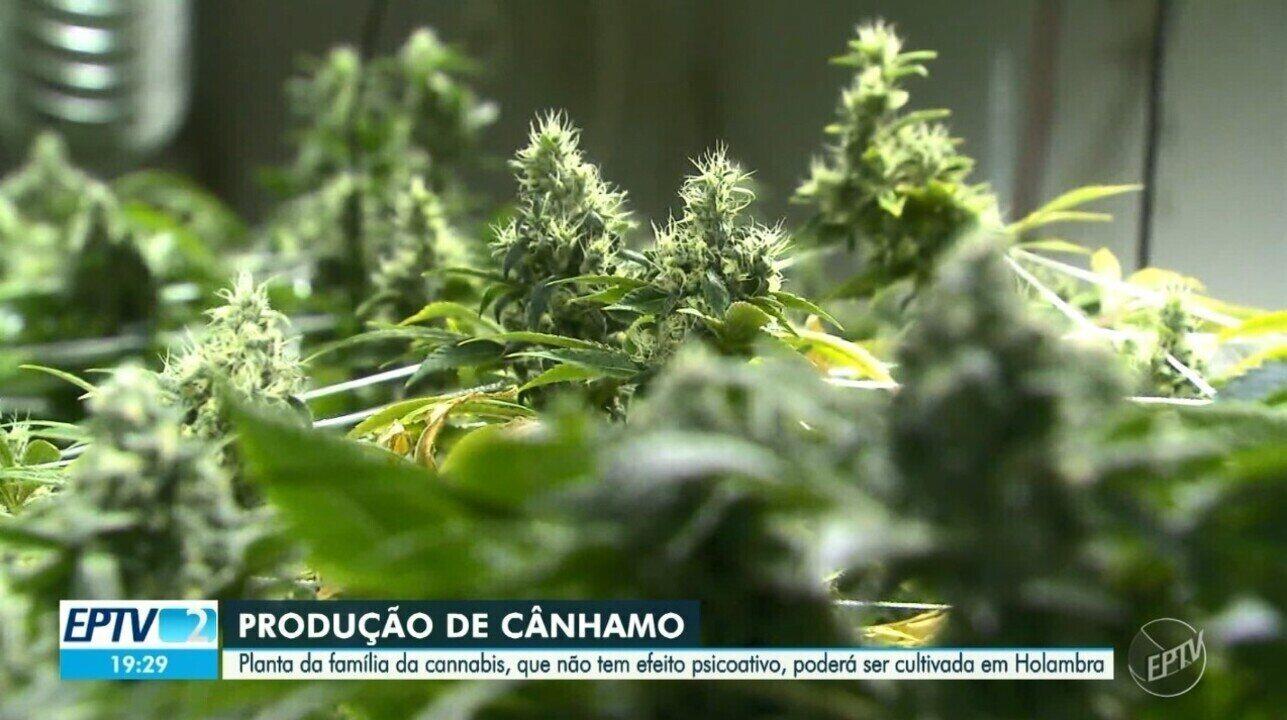 Empresa de Holambra obtém na Justiça licença para cultivar planta da família da maconha