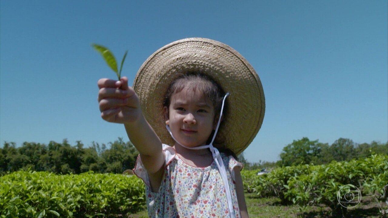 Hoje é dia de chá: Alexandre Henderson visita plantação em fazenda no interior de SP