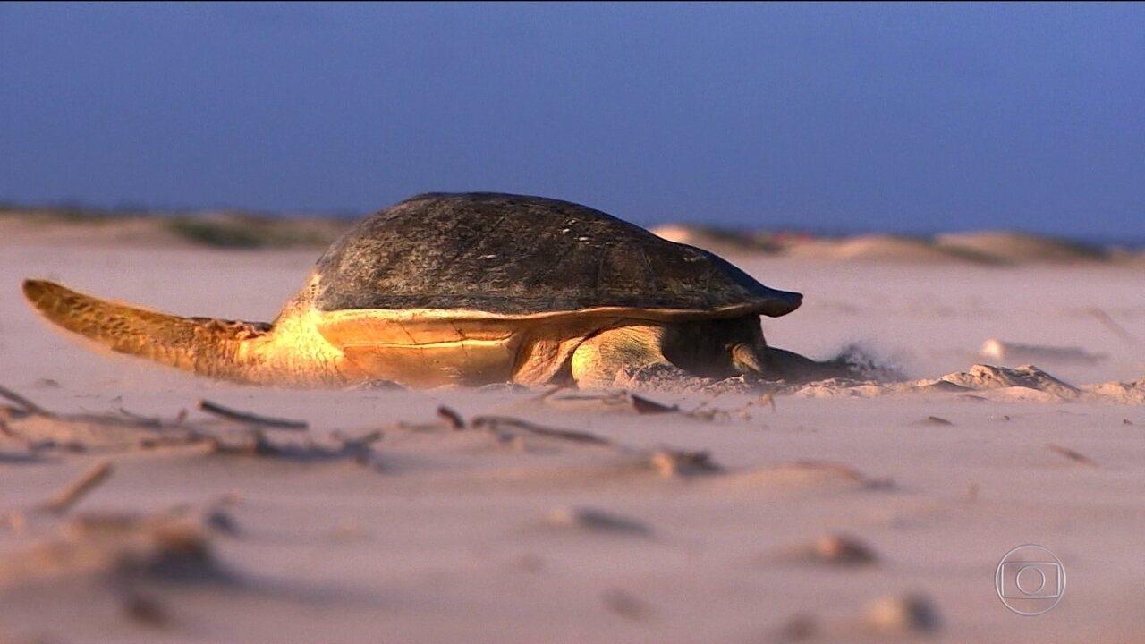 Tamar alcança marca de 40 milhões de tartaruguinhas soltas no mar