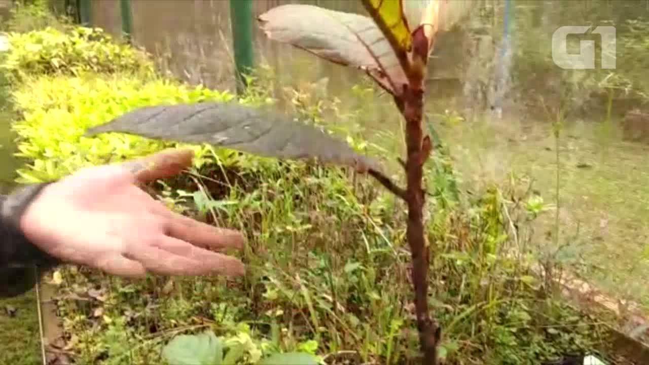 Coccoloba só é encontrada na Amazônia na distribuição da bacia do Rio Madeira, diz Eng.