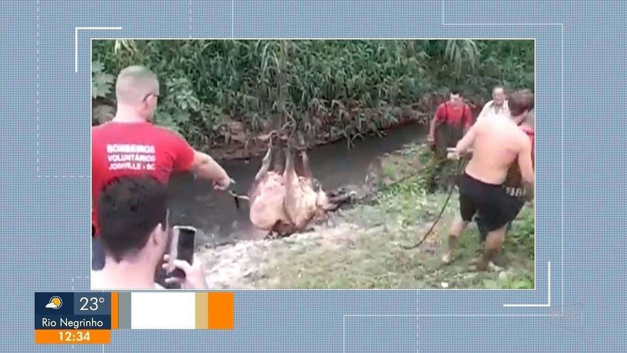 Bombeiros de Joinville resgatam vaca que estava presa em uma vala