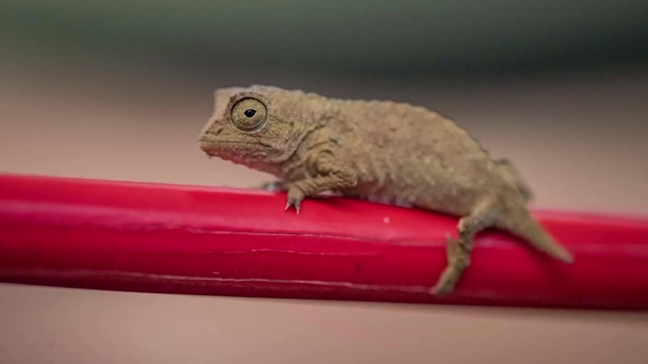 Zoo no Reino Unido apresenta novos camaleões-pigmeus