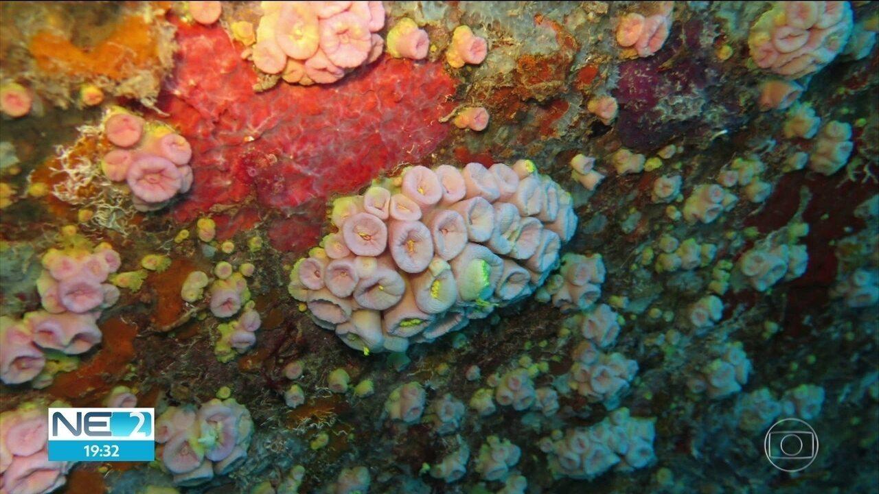 Pesquisadores tentam identificar de onde surgiu espécie que prejudica corais