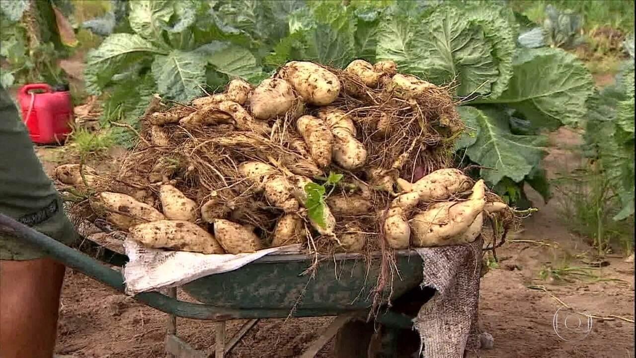 Produtores de batata doce de Sergipe se unem para tornar a atividade mais rentável