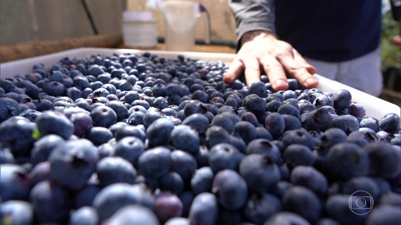 Mirtilo, também conhecido como blueberry, é cultivado com sucesso no cerrado brasileiro