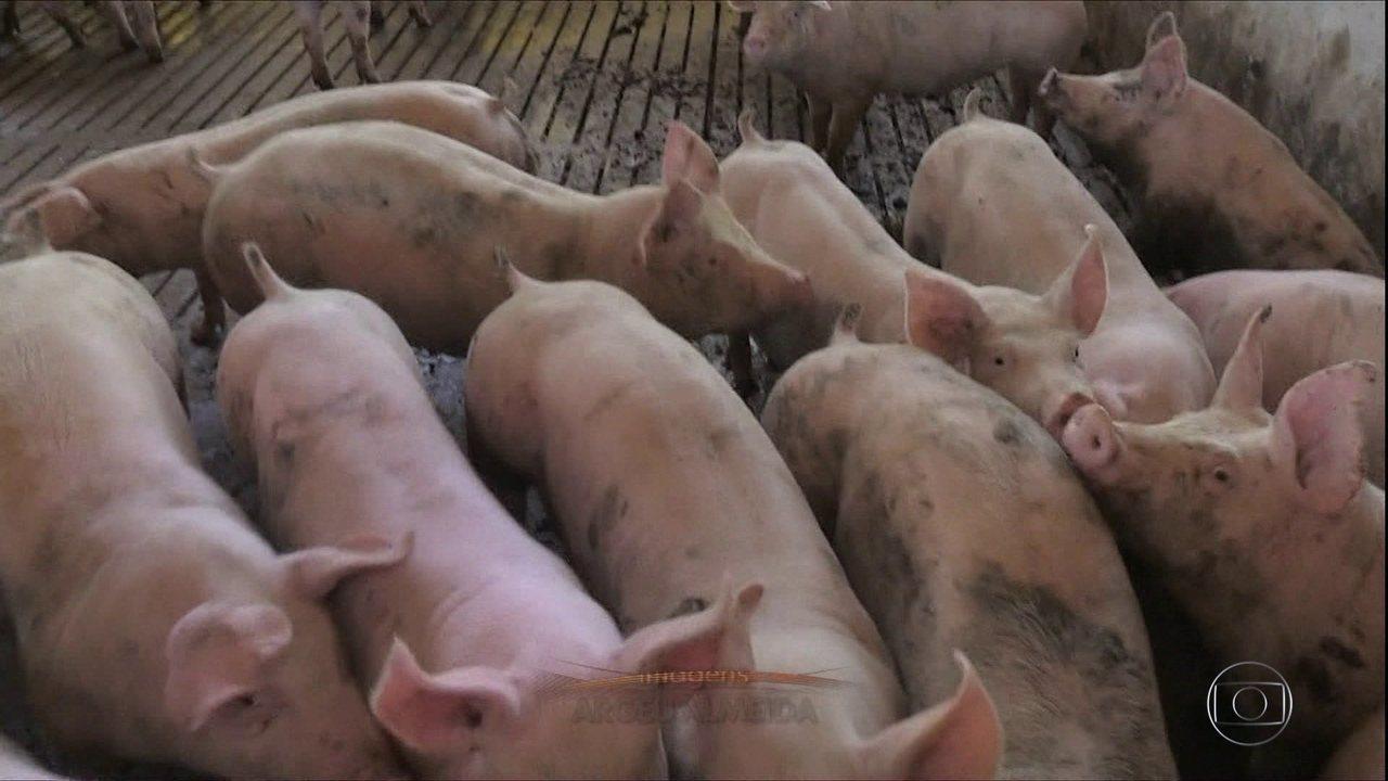 Exportação de carne suína bate recorde em 2020