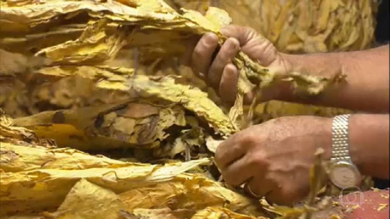 Agricultores comemoram a boa safra de tabaco no Rio Grande do Sul