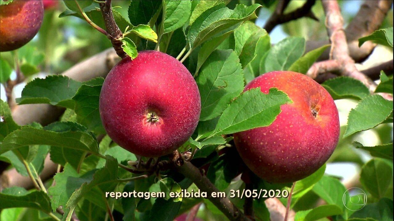 Pequenos produtores usam alta tecnologia para garantir qualidade da maçã
