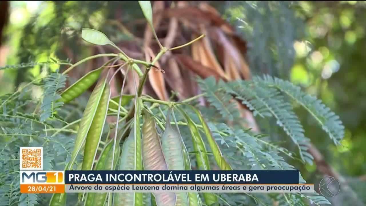 MGTV 1ª Edição - Uberaba   Árvore da espécie Leucena domina algumas áreas e gera preocupação em